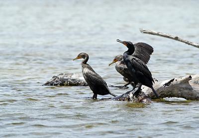 Cormoran à aigrettes - Phalacrocorax auritus - Double-crested Cormorant