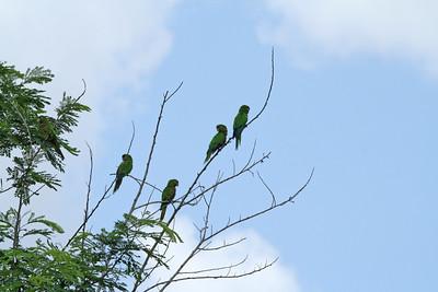 Conure aztèque - Aratinga nana astec - Aztec (Olive-throated) Parakeet