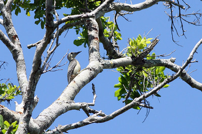 Pic du Yucatan - Melanerpes pygmaeus - Yucatan Woodpecker