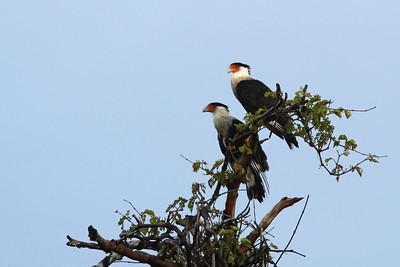 Caracara du Nord - Caracara cheriway - Northern Crested Caracara