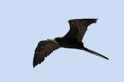 Frégate superbe - Fregata magnificens - Magnificent Frigatebird