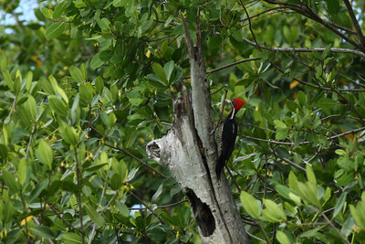 Pic ouentou - Dryocopus lineatus - Lineated Woodpecker
