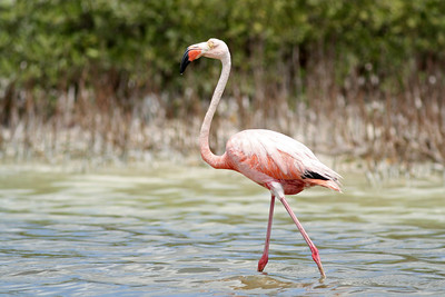 Flamant des Caraïbes - Phoenicopterus ruber - American Flamingo