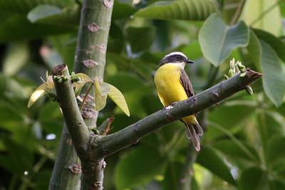 Tyran sociable - Myiozetetes similis - Social Flycatcher