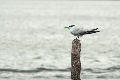 Sterne royale - Thalasseus maximus - Royal Tern