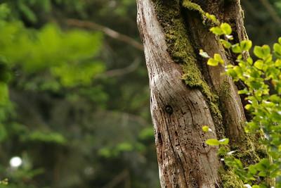 Chevêchette d'Europe - Glaucidium passerinum - Eurasian Pygmy Owl