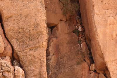 Grand-duc ascalaphe - Bubo ascalaphus - Pharoah Eagle-owl