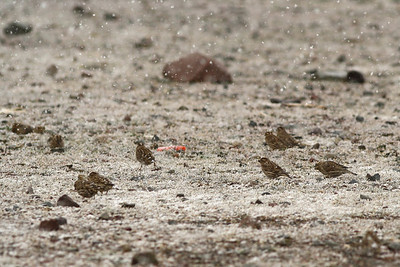 Moineau soulcie - Petronia petronia - Rock Sparrow