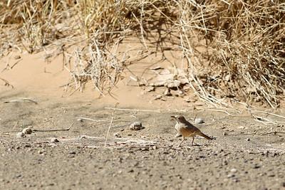 Ammomane isabelline - Ammomanes deserti - Desert Lark