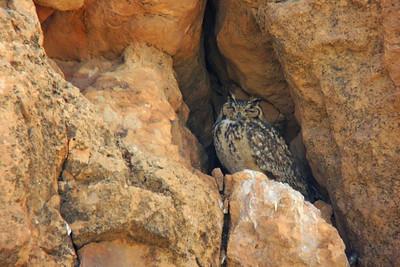 Grand-duc ascalaphe - Bubo ascalaphus - Pharoah Eagle-owl (digiscopie)