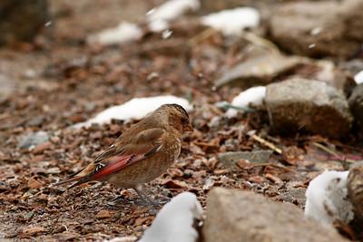 Roselin de l'Atlas - Rhodopechys alienus - African Crimson-winged Finch