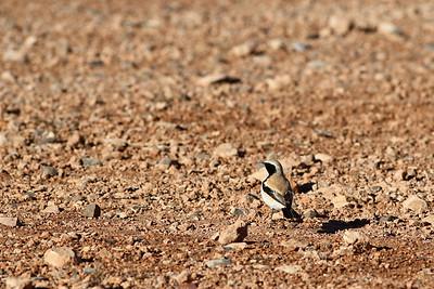 Traquet du désert - Oenanthe deserti - Desert Wheatear