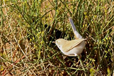Fauvette du désert - Sylvia deserti - Desert Warbler