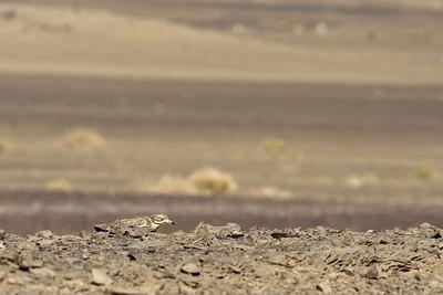 Œdicnème criard - Burhinus oedicnemus - Stone Curlew