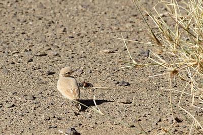Ammomane élégante - Ammomanes cinctura - Bar-tailed Lark