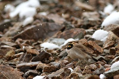 Alouette hausse-col - Eremophila alpestris - Horned Lark