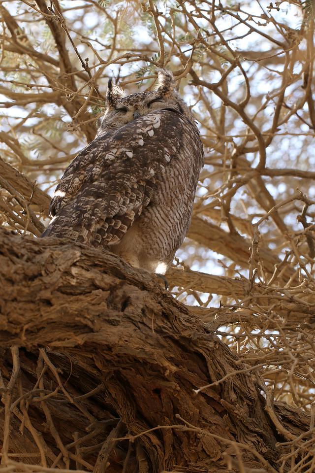 Grand-duc africain - <i>Bubo africanus</i> - Spotted Eagle-Owl