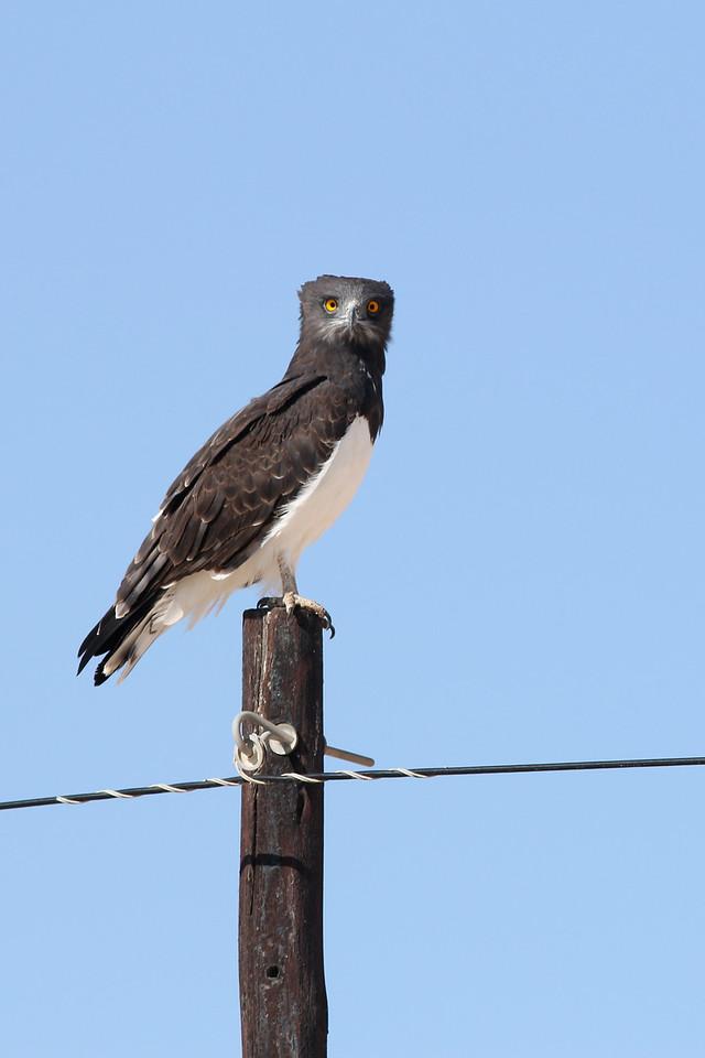 Circaète à poitrine noire - <i>Circaetus pectoralis</i> - Black-chested Snake Eagle