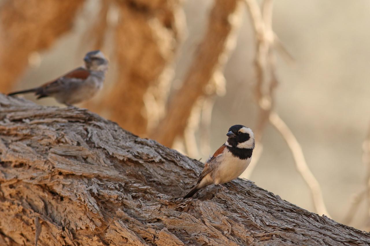 Moineau mélanure - <i>Passer melanurus</i> - Cape Sparrow