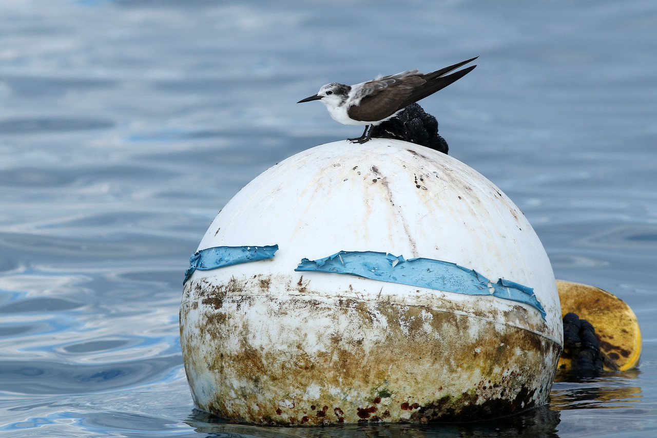 Sterne bridée - <i>Onychoprion anaethetus</i> - Bridled Tern