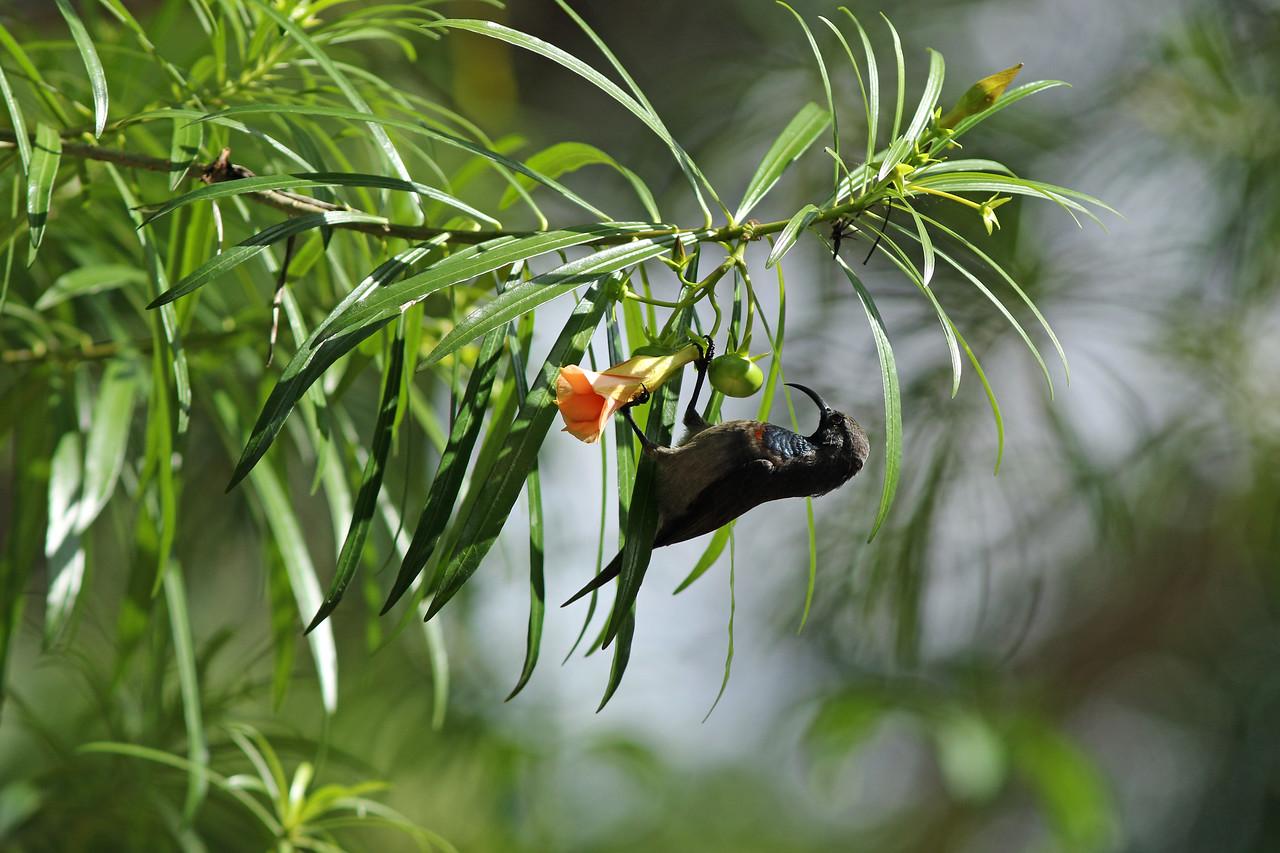 Souimanga des Seychelles - <i>Cinnyris dussumieri</i> - Seychelles Sunbird