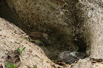 Foudi des Seychelles - Foudia sechellarum - Seychelles Fody