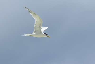Sterne voyageuse - Thalasseus bengalensis - Lesser Crested Tern