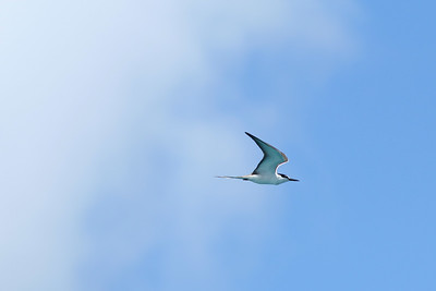 Sterne bridée - Onychoprion anaethetus - Bridled Tern