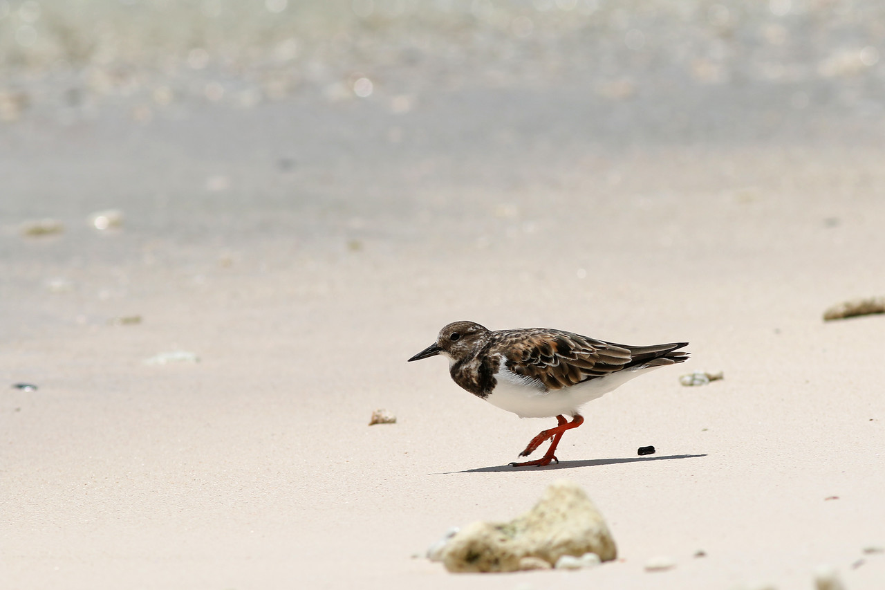 Tournepierre à collier - <i>Arenaria interpres</i> - Ruddy Turnstone