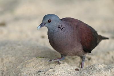 Pigeon de Madagascar - Nesoenas picturatus - Malagasy Turtle Dove