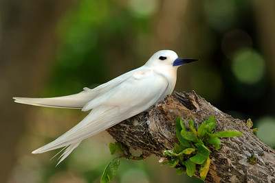 Gygis blanche - Gygis alba - White Tern