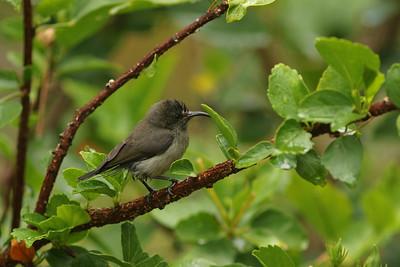 Souimanga des Seychelles - Cinnyris dussumieri - Seychelles Sunbird