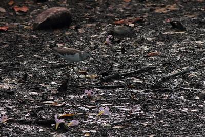 Chevalier aboyeur - Tringa nebularia - Common Greenshank