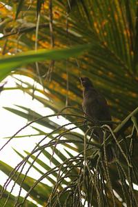 Vasa des Seychelles - Coracopsis barklyi - Seychelles Black Parrot