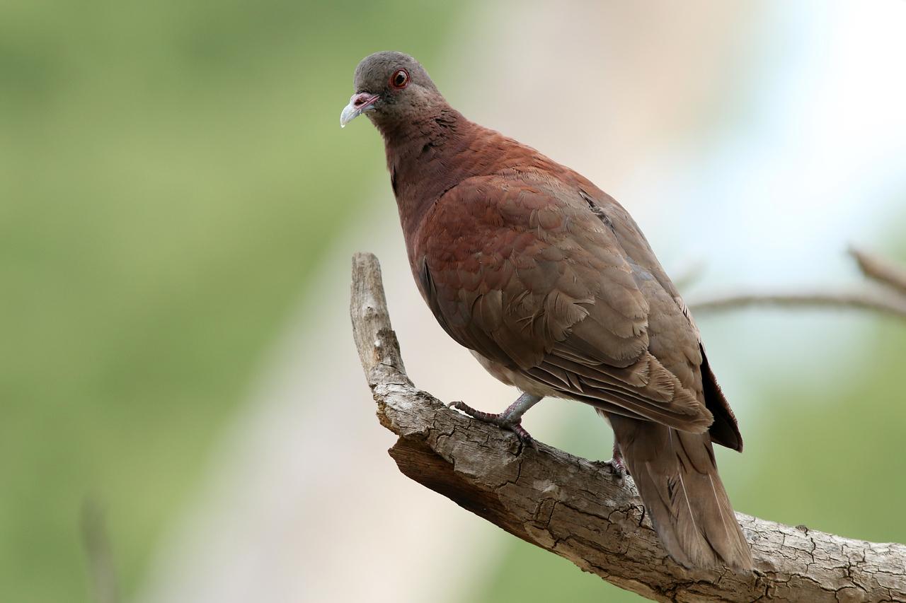 Pigeon de Madagascar - <i>Nesoenas picturatus</i> - Malagasy Turtle Dove