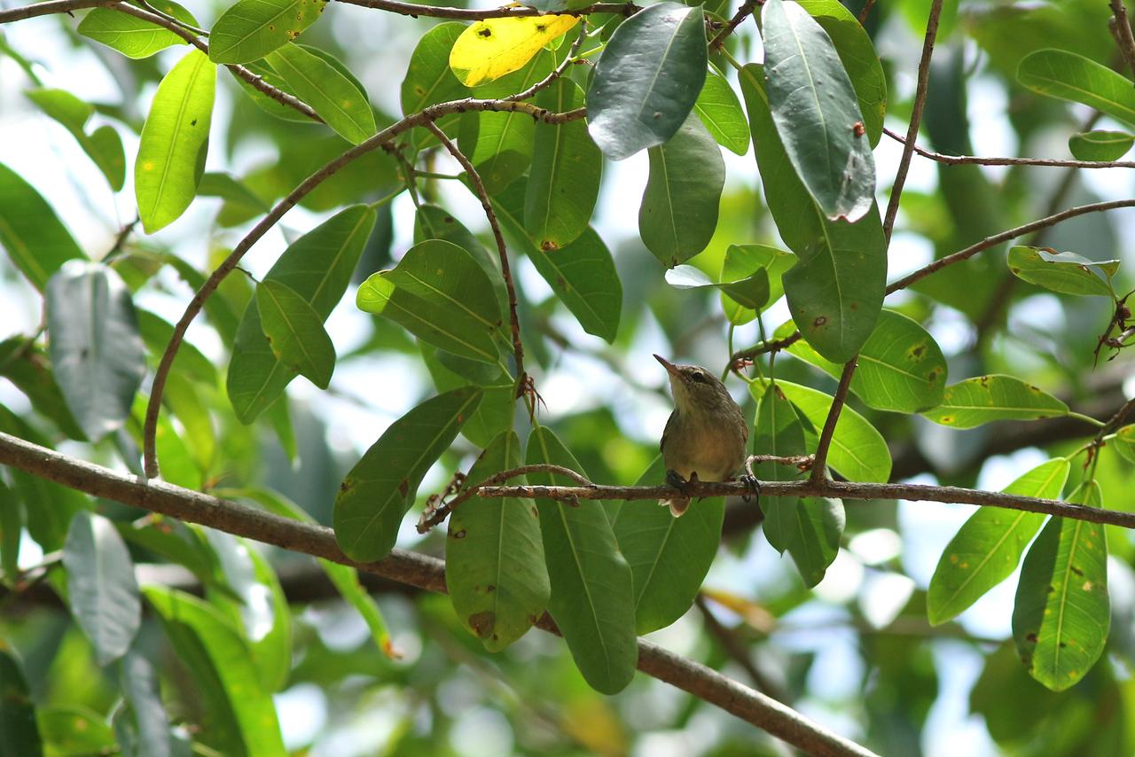 Rousserolle des Seychelles - <i>Acrocephalus sechellensis</i> - Seychelles Warbler