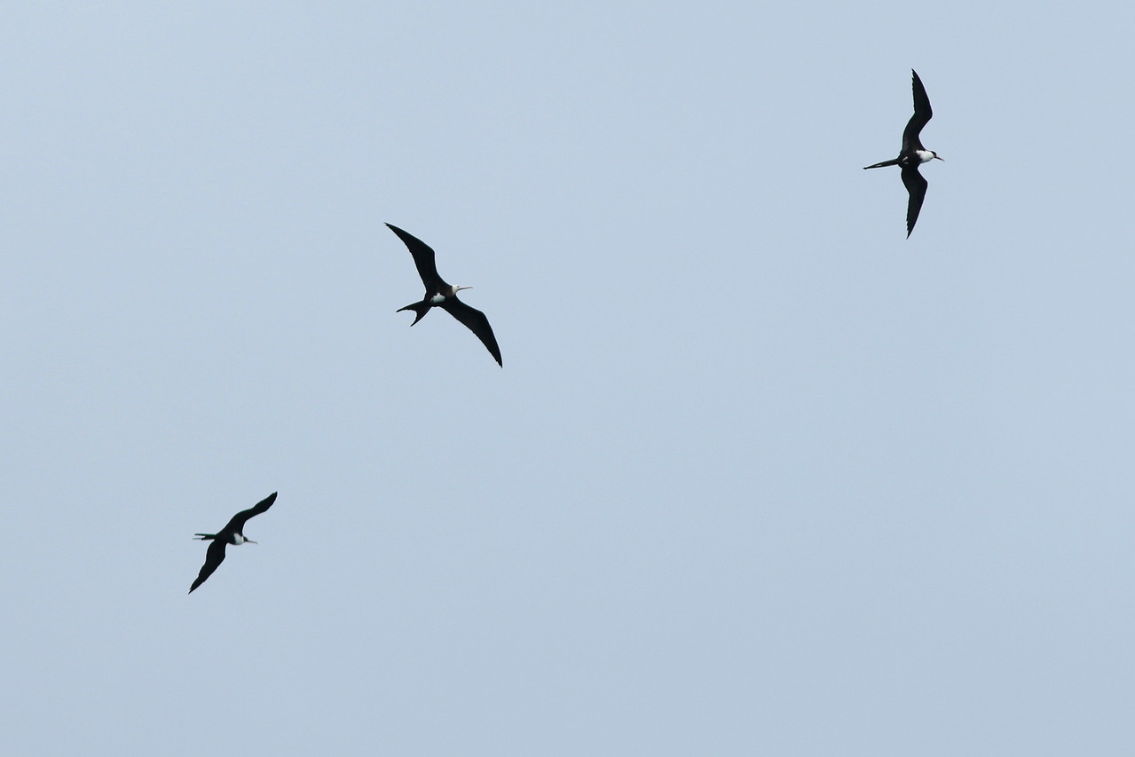 Frégate du Pacifique - <i>Fregata minor</i> - Great Frigatebird