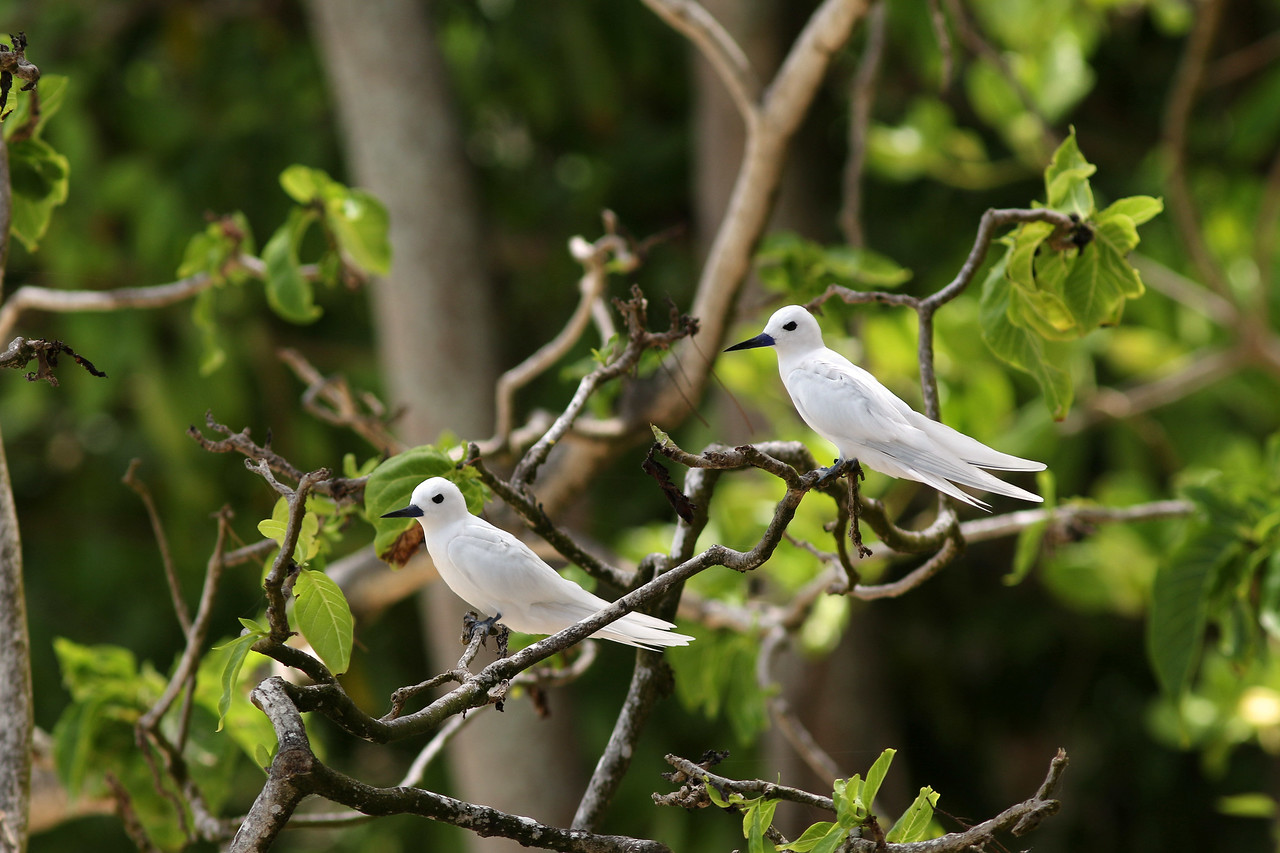 Gygis blanche - <i>Gygis alba</i> - White Tern
