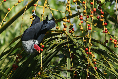 Founingo rougecap - Alectroenas pulcherrimus - Seychelles Blue Pigeon