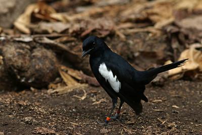 Shama des Seychelles - Copsychus sechellarum - Seychelles Magpie-Robin