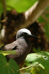 Noddi marianne - Anous tenuirostris - Lesser Noddy