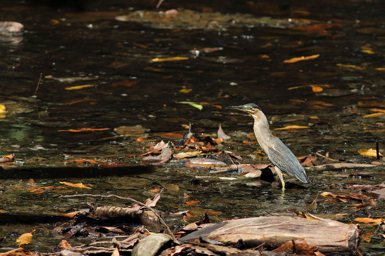 Héron strié - <i>Butorides striata</i> - Striated Heron