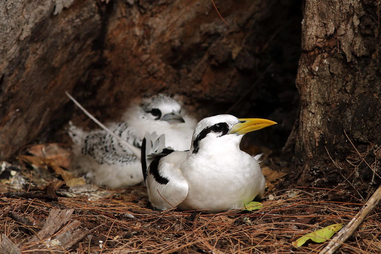 Phaéton à bec jaune - <i>Phaethon lepturus</i> - White-tailed Tropicbird