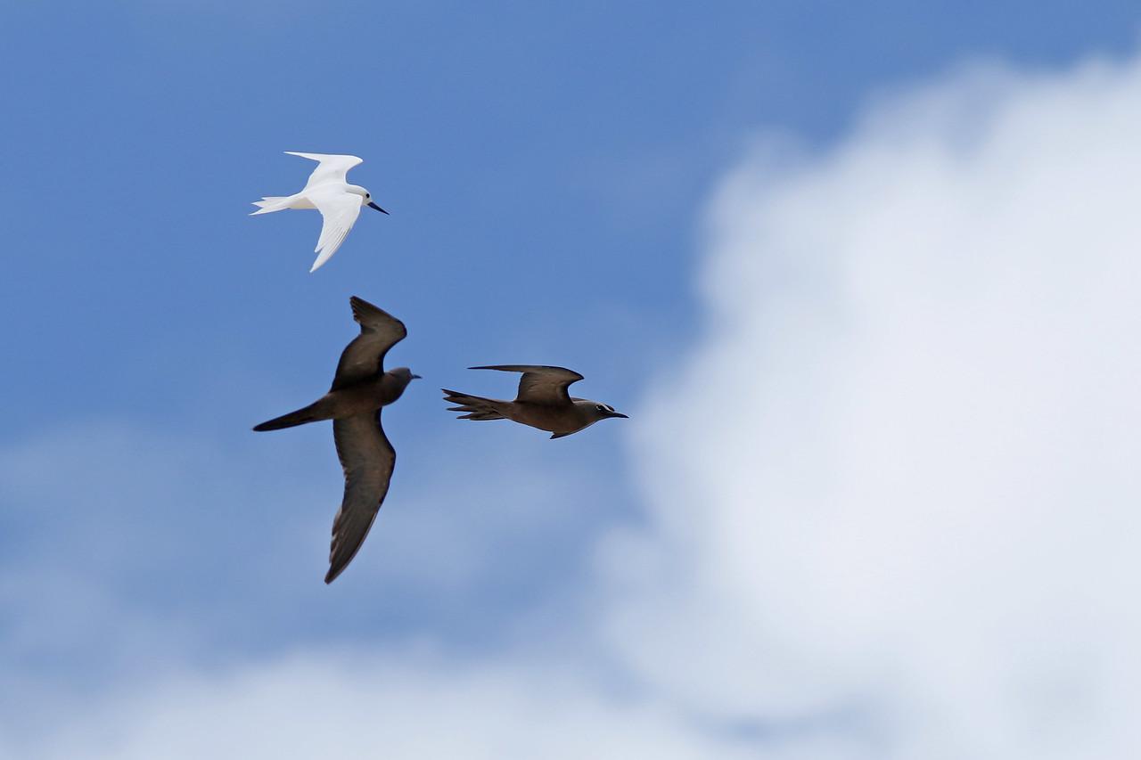 Gygis blanche - <i>Gygis alba</i> - White Tern<br> Noddi brun - <i>Anous stolidus</i> - Brown Noddy