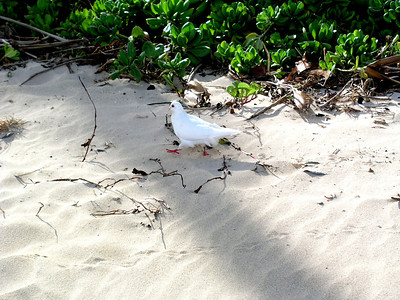 Dove walking on the white sandy beach  Kahala