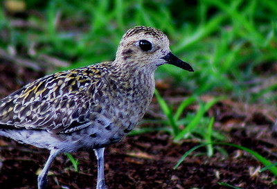 Pacific Golden Plover  Its Hawaiian name  is kōlea