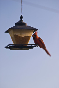 Cardinal on a bird feeder
