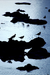 Bird silhouettes on lava rocks in Shark's Cove at sunset,  North Shore of O'ahu, Hawai'i