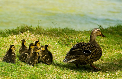 Mama duck and ducklings in the grass along the Kawainui Canal where the water enters Kailua Bay at Kailua Beach Park.