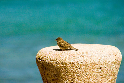 Sparrow sitting on a cement post  Waikiki
